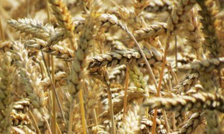 Hausse du prix du blé !